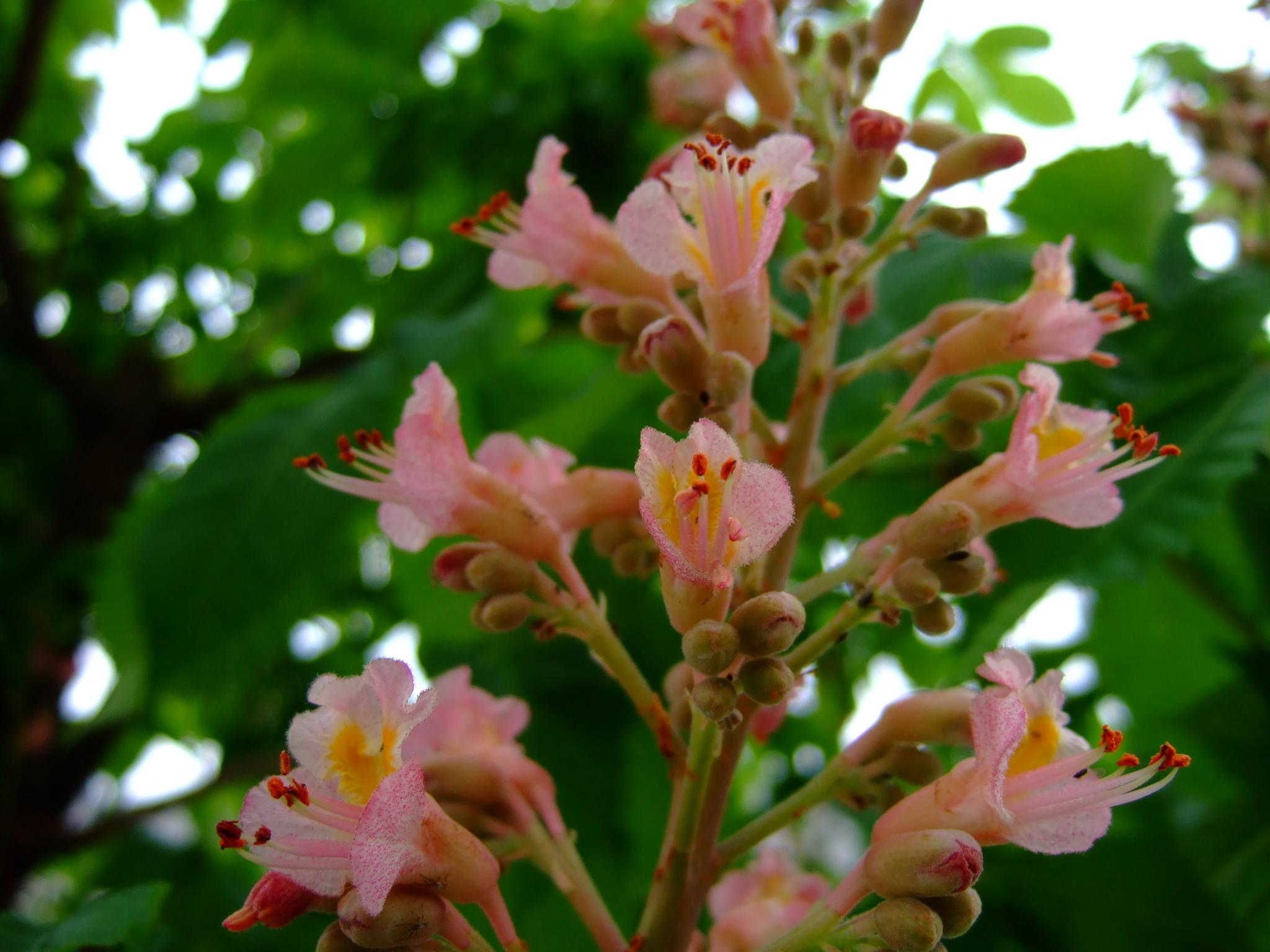 Dscf0773 マロニエ 街路樹のマロニエがピンクの花を咲かせ始めた。この花を見ると ああ,ゴ